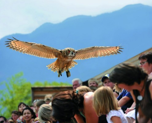 Flying eagle owl at Falconeria Locarno.