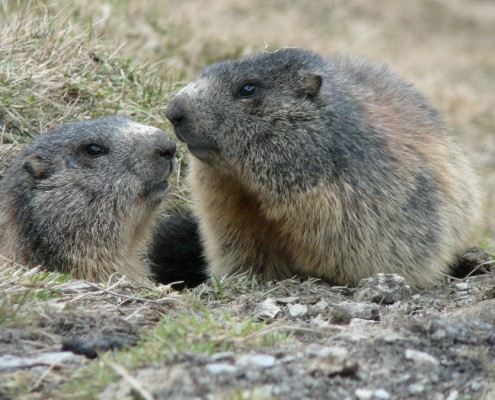 Two marmots in Avers, Grisons.