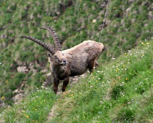 Alpine ibex in the mountains.